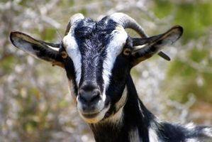 Come trattare parassiti esterni di capre