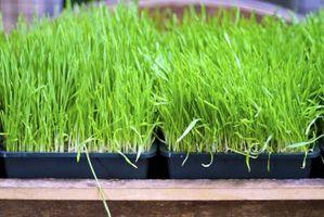 Quanto tempo ci vuole per crescere Wheatgrass?