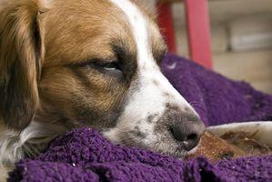 Quali sono i sintomi di un ictus imminente in cani?