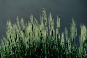 Vantaggi di Orzo Verde erba
