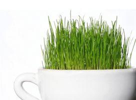 Wheatgrass per problemi di pelle