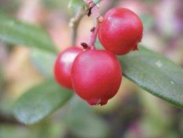Elenco delle piante selvatiche commestibili e Frutti di bosco in Oregon