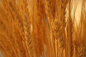 Quali sono i benefici per la salute di olio di germe di grano?