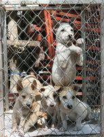 Qual è il regolare vaccino Programma per i cani?