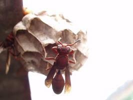 Come trattare api e vespe con Medicina alternativa