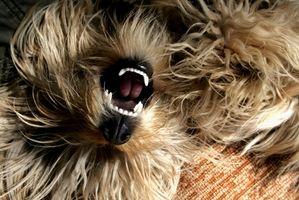 Come pulire tartaro dai denti di un cane senza Vet