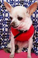 Come ottenere tartaro fuori dei denti di un Chihuahua