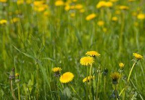Usi per Dandelion Supplemento di erbe