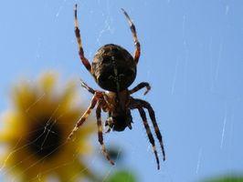 Segni e sintomi di un morso di ragno Rogue