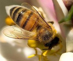 Come trattare una puntura di ape con batticarne