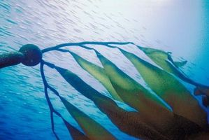 Come estrarre alghe Oil