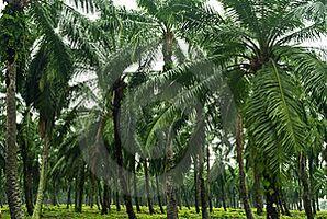 Olio di palma Miti