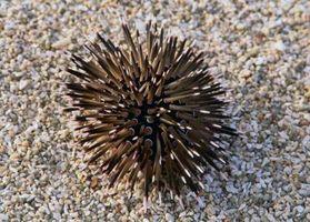 Sea Urchin Avvelenamento