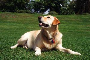 Che cosa è un erba robusta per i cani?