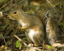 Come Pelle uno scoiattolo