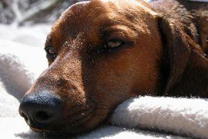 I sintomi di una allergia al grano in un cane