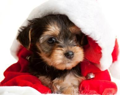 Bad Idea per dare un cucciolo per un regalo di Natale?