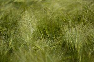 Che cosa è Orzo Verde Polvere?