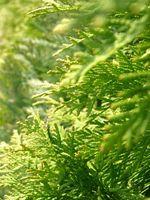 Il trattamento a base di erbe per l'HPV