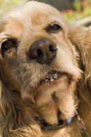 Segni e sintomi di infezioni dell'orecchio Canine
