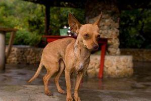 Come Consegnare Chihuahua cuccioli alla nascita