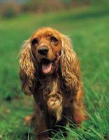 Segni e sintomi di un soffio al cuore di un vecchio cane