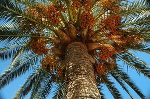 Processo di creazione di aceto di Peach Palm