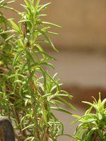 Quali erbe naturali aiuterà a concentrarsi