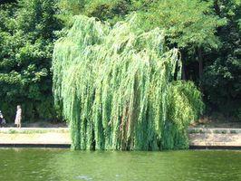 Willow Root per l'artrite