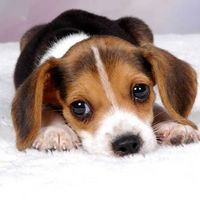 Rimedi naturali per acari dell'orecchio del cane