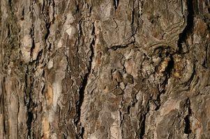 Proprietà medicinali di corteccia di pino