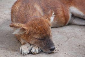 I sintomi della malattia da zecche in Cani