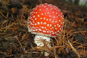 Tipi di funghi tossici