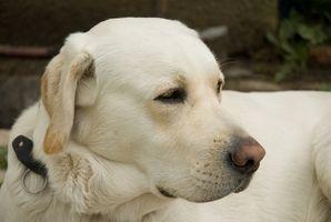 Artrite medicina per i cani che non fa male il fegato