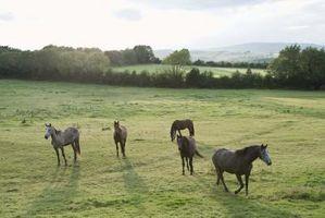 Come insegnare un cavallo che si trova sulla Pecking Order