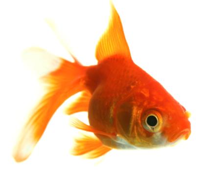 Goldfish sopravvivere 134 giorni senza cibo