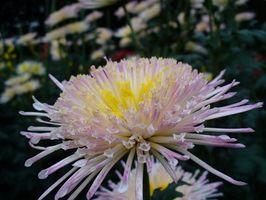 Effetti collaterali di erbe crisantemo