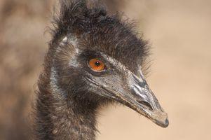 I benefici ed usi di Emu Oil