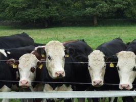 I segni di rabbia nei bovini