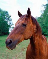 Consigli Shipping & Trattamento per ulcere della bocca in Cavalli