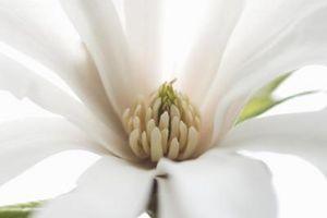 Effetti della Magnolia Bark Herb