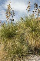 Benefici per la salute di Yucca Root