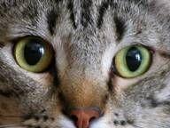 Trattamenti di asma per Cats