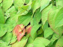 Epimedium brevicornum Pianta