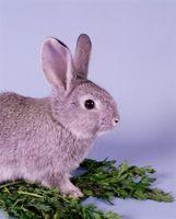 Come faccio a sapere Quanti anni ha il mio bambino coniglio è?