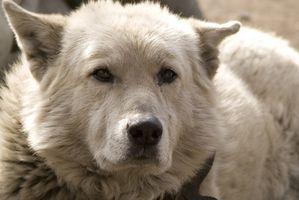Malattie Canine & Vomito