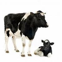 Processo di inseminazione artificiale nei bovini