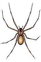 Come riconoscere un Brown Recluse Spider
