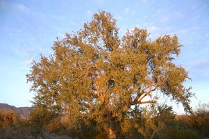 Mesquite Tree Allergie